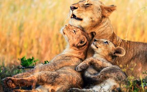 Wallpaper lions, lioness, kittens, Africa, cubs