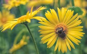 Picture macro, insect, bumblebee, yellow daisies, Doronikum