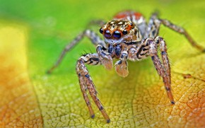 Picture macro, green, background, leaf, spider, jumper, the Hoppy