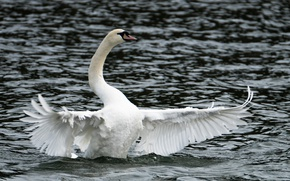 Picture lake, Swan, open wings, cloudy weather