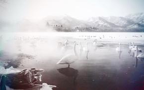 Wallpaper winter, lake, swans