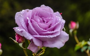 Picture flower, drops, rose, petals, Bud
