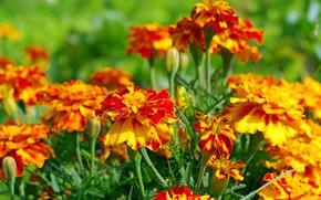 Picture autumn, flowers, nature, beauty, plants, cottage, flora, marigolds, orange color, annuals
