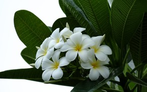 Picture leaves, branch, petals, Plumeria, flowering, leaves, branch, flowering, Plumeria petals