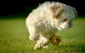 Picture toy, dog, lawn, Shih Tzu