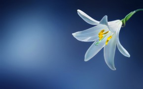 Picture macro, petals, Lily white