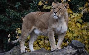 Wallpaper nature, lioness, tree