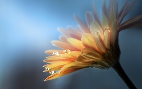 Wallpaper flower, drops, nature, gerbera