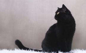 Picture cat, black, grey background