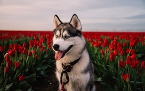 Wallpaper flowers, red, field, dog, tulips, husky, Laika