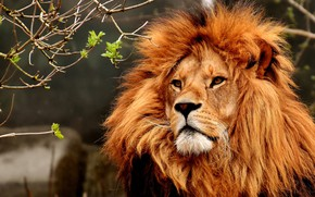 Wallpaper Leo, animal, mane
