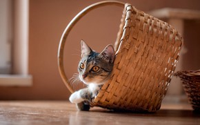 Picture cat, cat, look, comfort, house, grey, background, wall, basket, the game, floor, hide and seek, ...