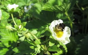 Picture white, flower, bee