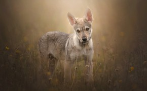 Picture grass, look, dog, puppy, bokeh, Czechoslovakian, Wolfdog, The Czechoslovakian Wolfdog
