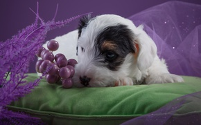 Picture flowers, puppy, pillow, the Sealyham Terrier