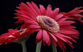 Wallpaper drops, flower, red, macro, gerbera