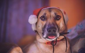 Picture look, dog, cap