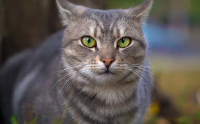 Picture cat, eyes, cat, look, face, grey, background, portrait, striped, Kote, green-eyed, smoky