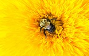 Picture flower, macro, yellow, bee, petals, insect, bumblebee