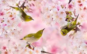 Picture branches, spring, Sakura, birds, Trinity, white-eyed, FuYi Chen, white eye