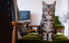 Picture cat, eyes, cat, look, face, grey, background, room, furniture, chair, sitting, striped, cutie, green eyes, ...
