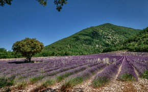 Picture field, the sky, tree, hill, trees, fields, lavender, lavender