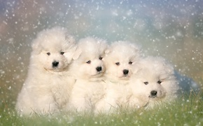 Picture puppies, Quartet, Samoyed, the Samoyed