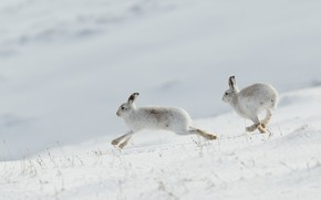 Picture winter, white, snow, rabbits