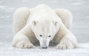 Picture winter, snow, bear, polar bear, North