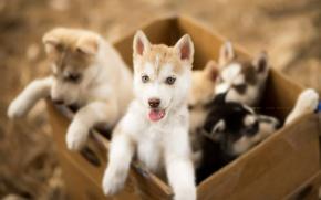 Wallpaper puppies, dogs, box