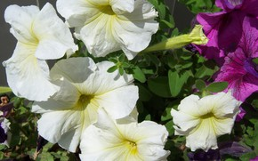 Picture flowers, petunias, Meduzanol ©, pale yellow