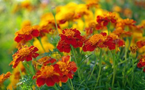 Wallpaper flowers, beauty, nature, marigolds, plants, cottage, flora, orange color, annuals, autumn