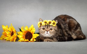 Picture cat, look, sunflowers