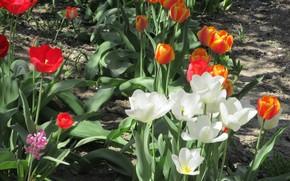 Picture tulips, flowerbed, spring 2018, Meduzanol ©
