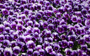 Picture Flowers, flowering, Pansy