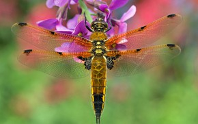 Picture flower, macro, background, dragonfly, Blackbrush four-spotted chaser