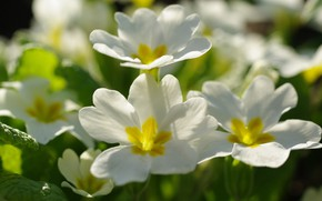 Picture flowers, nature, tenderness, beauty, plants, spring, primroses, flora, awakening, white color, Primula, snow white