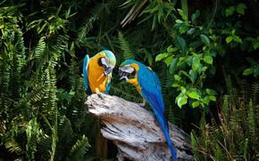Wallpaper ary, trees, nature, stump, parrots, pair