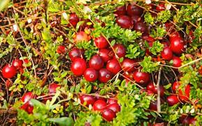 Picture nature, berries, plants, cranberry