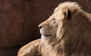 Wallpaper wild cat, profile, face, power, predator, mane, white lion