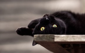 Picture eyes, look, muzzle, cat, black cat