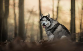 Picture forest, look, dog, bokeh, Husky