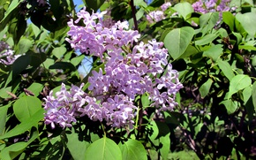 Picture Spring, Lilac, spring, Lilac