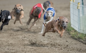 Picture dogs, sport, running