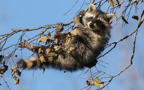Picture branches, raccoon, cub, on the tree