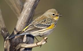 Picture bird, branch, beak, Myrtle forest songster