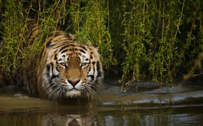Picture face, water, branches, tiger, wild cat