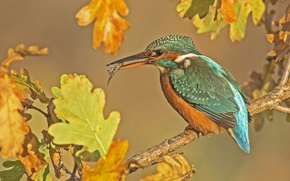 Picture autumn, leaves, bird, fish, branch, oak, Kingfisher, catch