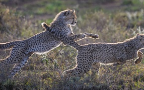 Picture nature, the game, kittens, Cheetah