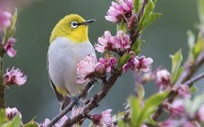 Picture flowers, nature, bird, branch, spring, white-eyed, white eye, white-eye